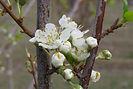 Santa Rosa Plum flower