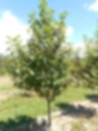 May Day Bird Cherry tree