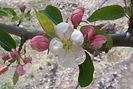 Dolgo Crabapple flower bud