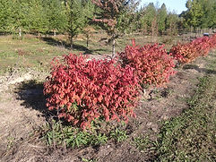 Burning Bush fall color