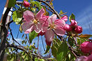 Louisa Weeping Crabapple flower