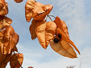 Goldenraintree seed