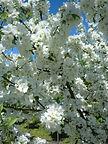 David Crabapple flower