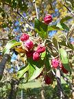 Echtermeyer Weeping Crabapple flower bud