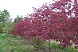 Prairifire Crabapple tree in spring
