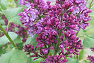 Common Lilac flower bud