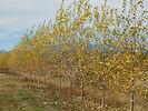 Lanceleaf Poplar fall color