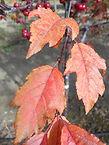 Royal Raindrops Crabapple fall leaves