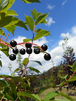 May Day Bird Cherry fruit