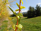 Golden Non-Brittle Willow new growth