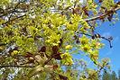 Fairview Maple flower