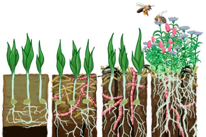 n levende jord. Jordens organismer og planterødder kan erstatte den fysiske bearbejdning med maskiner. Det kræver dog, at de får mad og ro til at arbejde. Grafik: Pernille Martiny Modvig, Agrovi Videncenter.