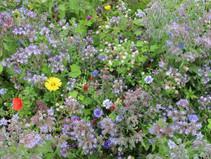 """Honningplanter"": Nye MFO blomsterblandinger uden korsblomstrede arter"