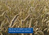 Hybridrug efter hybridrug - i det pløjefrie dyrkningssystem