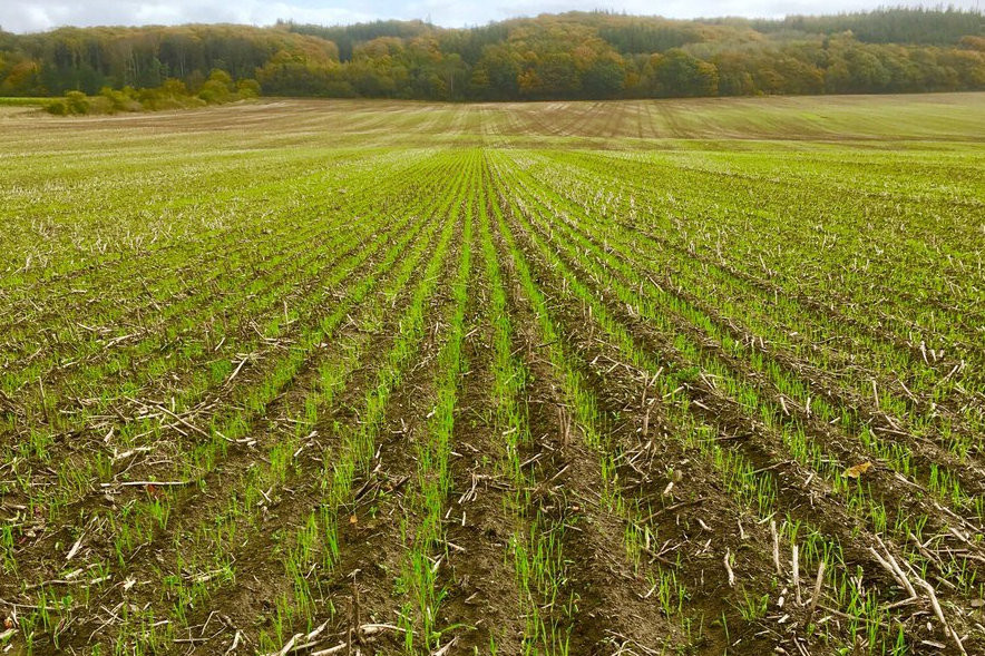 Jacob Justesen, Hvede sået direkte lige efter høst af hestebønner, der er siden faldet150 mm regn.