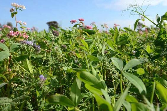 Mellemafgrøder 2012 – en evaluering