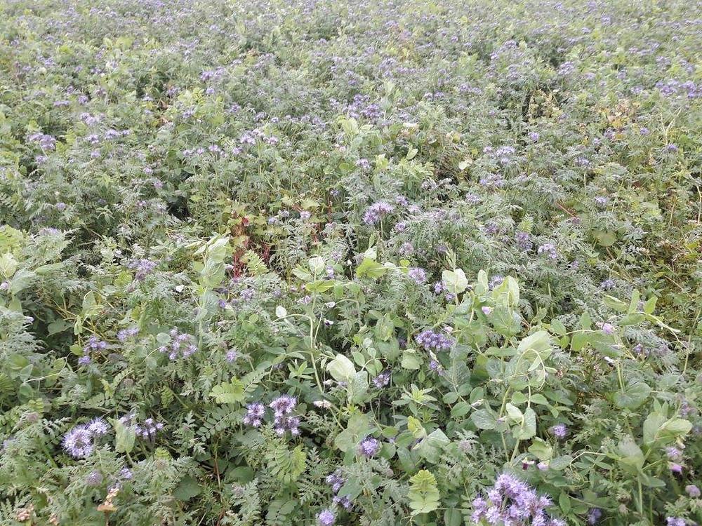 Terragold blandingen ved Ole Nørby var veletableret og havde opnået en god dækning af jorden. Efterafgrøden blev etableret allerede i slutning af juni efer høst af hvidløg.