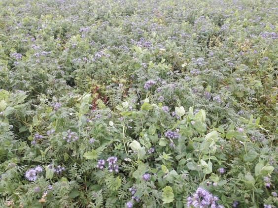 Efterafgrøder ved Nørbys Grønsager -  vinder af konkurrencen Danmarks bedste økologisk efterafgrøder