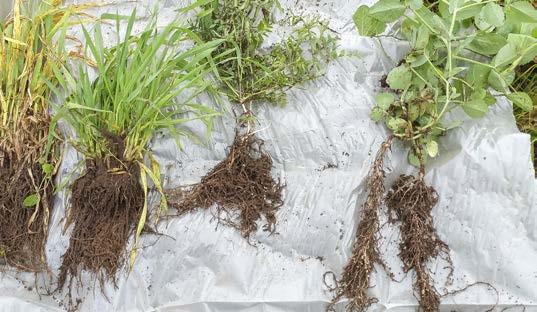 Fra venstre: vårbyg, rug vikke og markært.Efterafgrøder på sandjord ser ofte ikke ud af meget over jorden, men der kan være en betydelig  rodvækst under små planter. Trævlerødder  på græs og korn skaber struktur i jorden. Kvælstoffikserende arter skaber liv i jorden. Foto: Christian Hansen, SAGRO