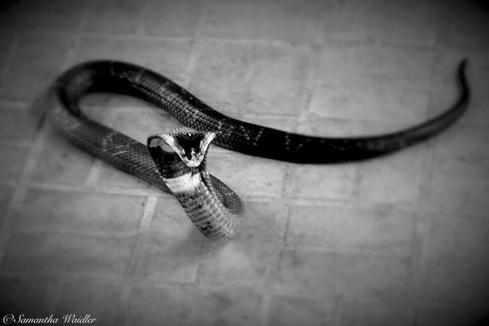 thailand - 051_Snake.jpg