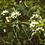 Thumbnail: Sitka Valerian tincture