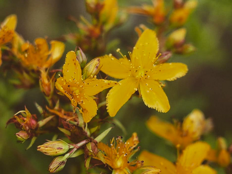The Many Uses of St. John's Wort
