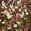 Thumbnail: Ju Hua tincture/Chrysanthemum tincture
