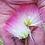 Thumbnail: Albizia / He Huan Hua Tincture