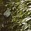 Thumbnail: Jiao Gu Lan tincture