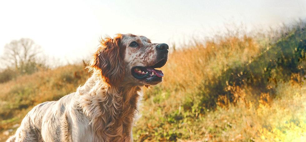 golden-Labrador-retriever_edited2_edited