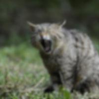 pixabay wildcat-356805.jpg