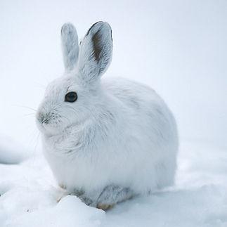 Schneehase-Foto-dpa.jpg
