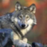 wolf-62898_1920 pixabay for web use.jpg