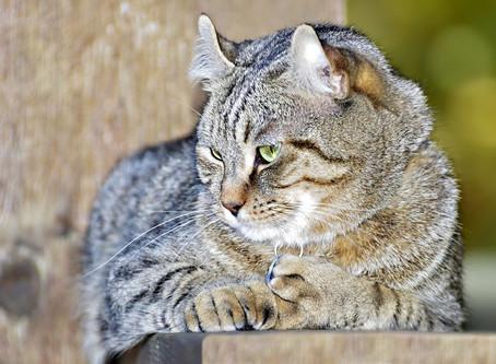 Highland Lynx, un chat au comportement d'un chien