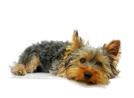 Le Yorkshire Terrier, un compagnon irresistible !