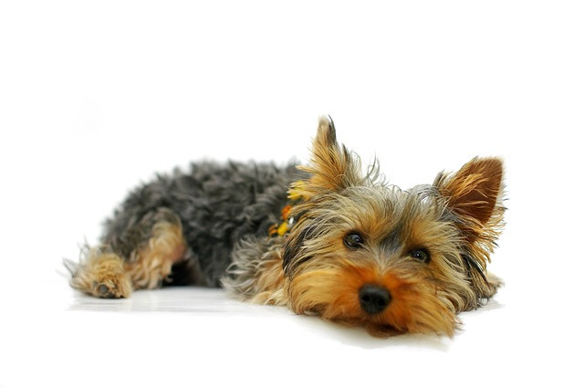 Race de chien :Yorkshire Terrier