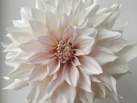 For the love of dahlias