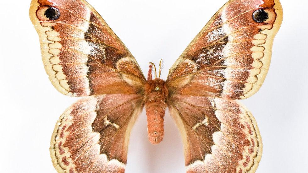Promethea Moth Cocoons