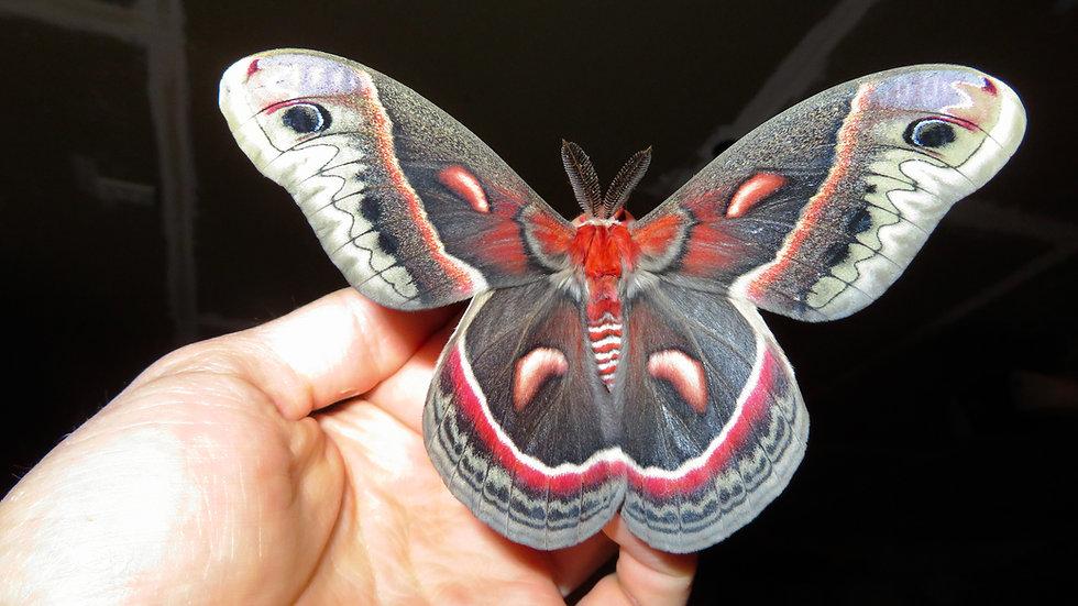 Cecropia Moth Cocoons