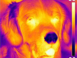 Découverte d'une nouvelle fonction sensorielle de la truffe du chien?