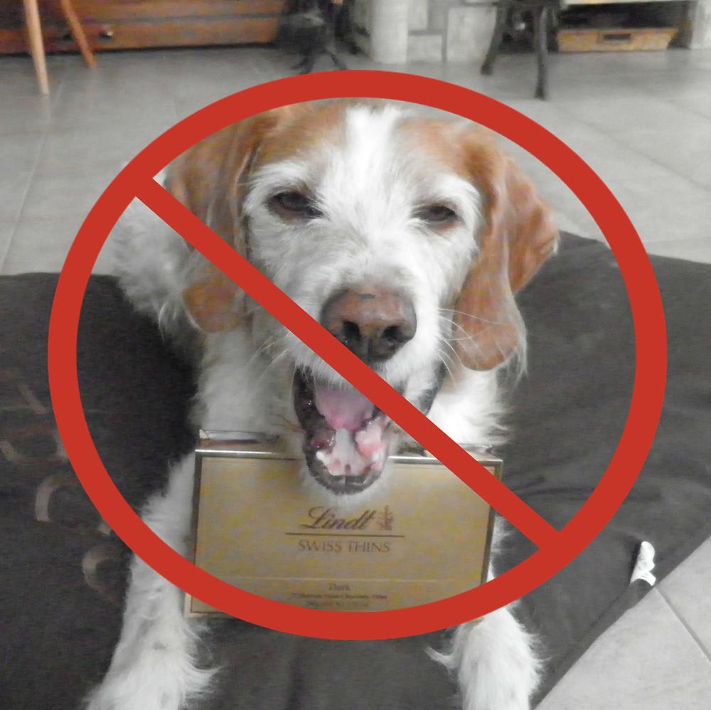 Toxicité chocolat chien