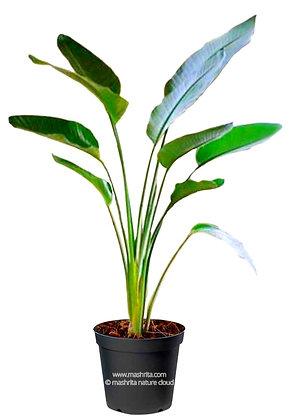 Ravenala Palm