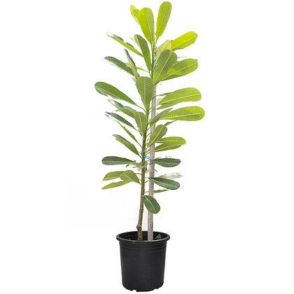 Plumeria Plant (80-100cm)