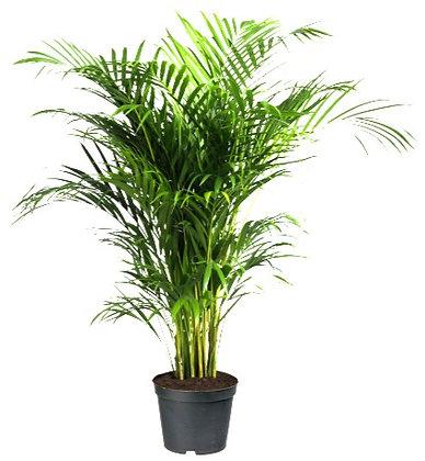 Areca Palm (90-110cm)