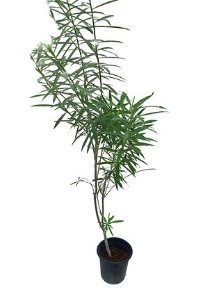 Cascabela Thevetia  (80-100cm)
