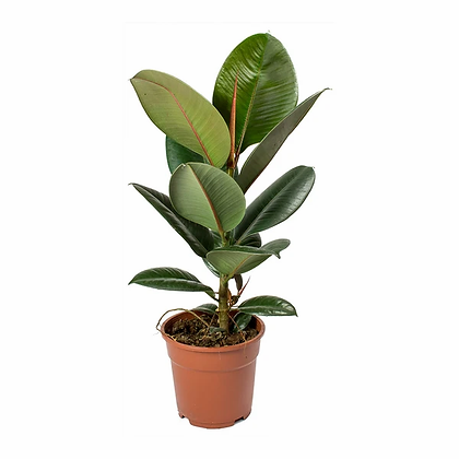 Rubber fig (30-50cm)