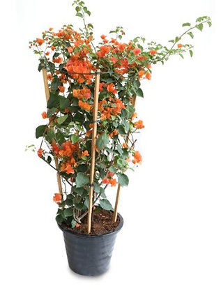 Bougainvillea Orange