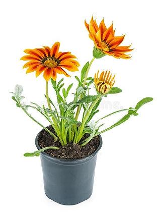 Gazania Orange Flower