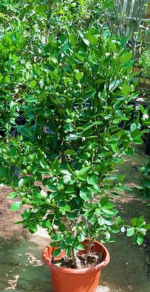 Meandrine (Fruit plant)
