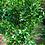 Thumbnail: Meandrine (Fruit plant)